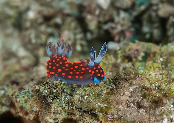 Nembrotha nudibranch  manado stock pictures, royalty-free photos & images