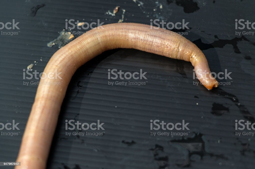Nemertea is a phylum of invertebrate animals also known as ribbon worms or proboscis worms in the Sea for education. stock photo