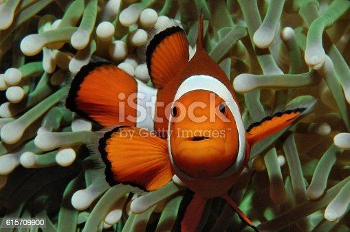 istock Nemo and anemone 615709900