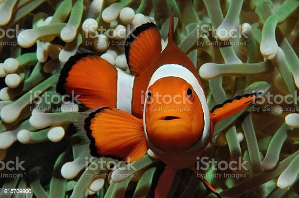 Nemo and anemone picture id615709900?b=1&k=6&m=615709900&s=612x612&h=cz 2zccp8nbson8klgraejuixnfhlcnvdpockewket4=