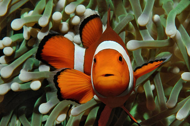 Nemo and anemone Amphiprion (Western clownfish (Ocellaris Clownfish, False Percula Clownfish)) is hiding in anemone, Puerto Galera, Philippines anemonefish stock pictures, royalty-free photos & images