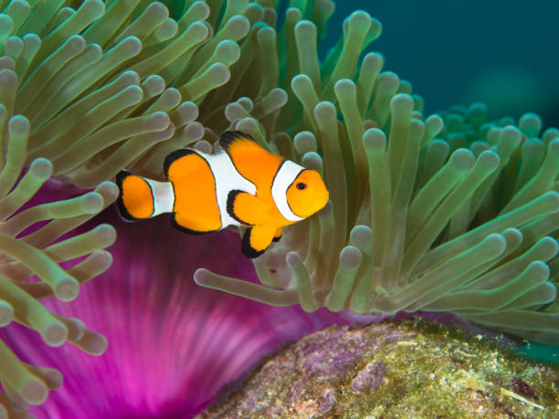 Nemo clown fish by the purple mantle of a anemone Nemo clown fish by the purple mantle of a anemone anemonefish stock pictures, royalty-free photos & images