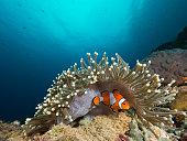 A nemo clownfish hiding under its host anemone