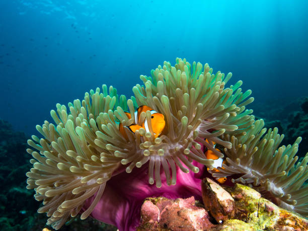Nemo clownfish in its host anemone with sun rays coming down in the background Nemo clownfish in its host anemone with sun rays coming down in the background anemonefish stock pictures, royalty-free photos & images