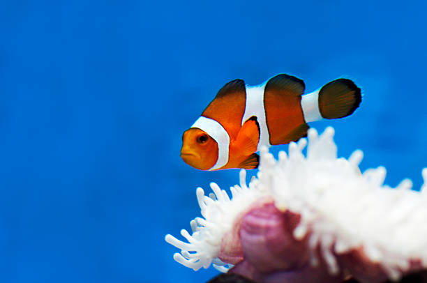 nemo clownfish nemo clownfish nemo museum stock pictures, royalty-free photos & images