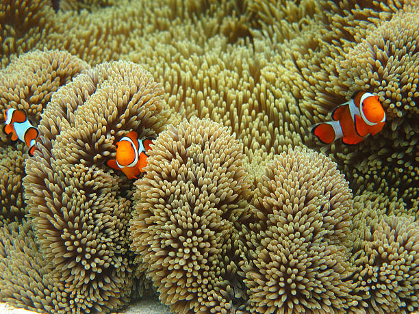 Nemo family Nemo family swimming among sea anemone sea anemone stock pictures, royalty-free photos & images