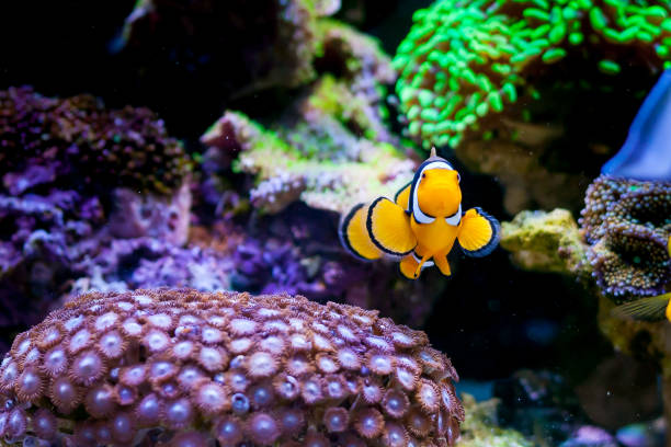 Nemo fish. Amphiprion in Home Coral reef aquarium. Selective focus. Nemo fish. Amphiprion in Home Coral reef aquarium. Selective focus. false clown fish stock pictures, royalty-free photos & images