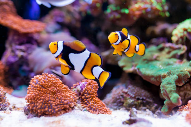 Nemo fish. Amphiprion in Home Coral reef aquarium. Selective focus. Nemo fish. Amphiprion in Home Coral reef aquarium. Selective focus. nemo museum stock pictures, royalty-free photos & images