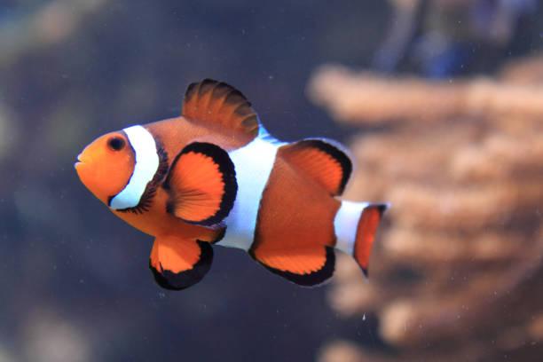 nemo fish (clown fish) orange nemo fish (clown fish) in aquarium nemo museum stock pictures, royalty-free photos & images