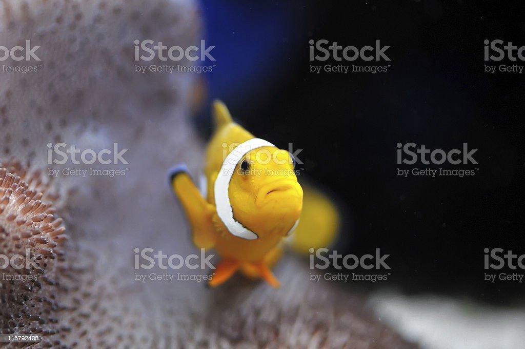 Nemo royalty-free stock photo