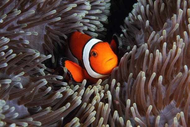 nemo nemo at home symbiotic relationship stock pictures, royalty-free photos & images