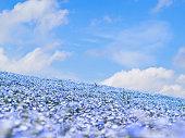 Nemophila flower garden