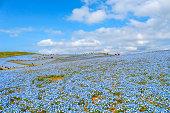 nemophila flowers field