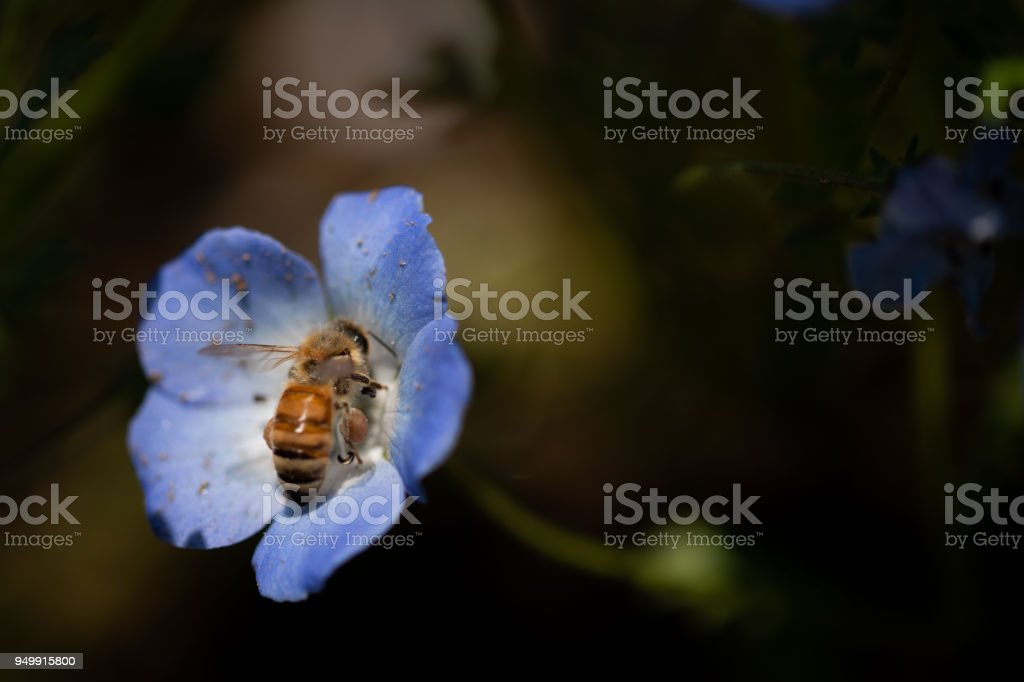 Nemophila is a spring flower stock photo