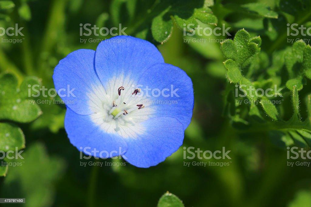 Nemophila menziesii 'Insignis Blue' stock photo