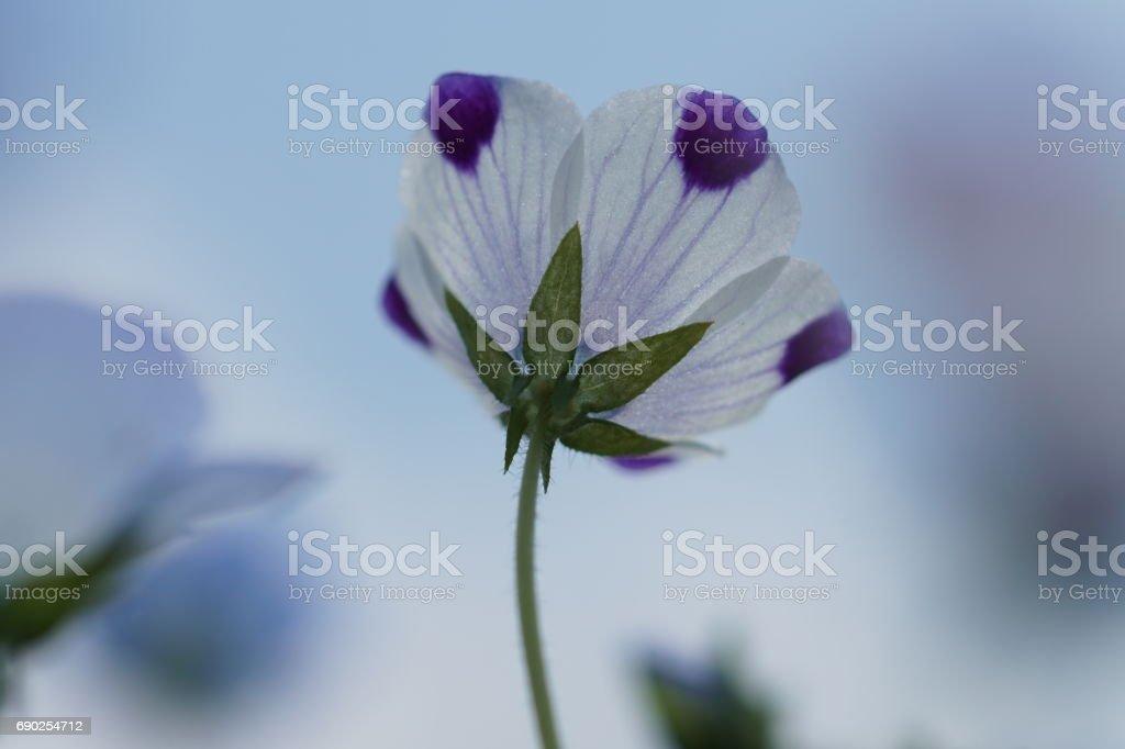 Nemophila stock photo
