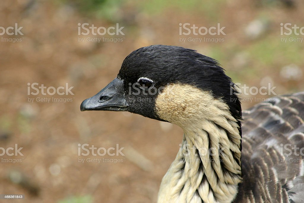 Nene royalty-free stock photo