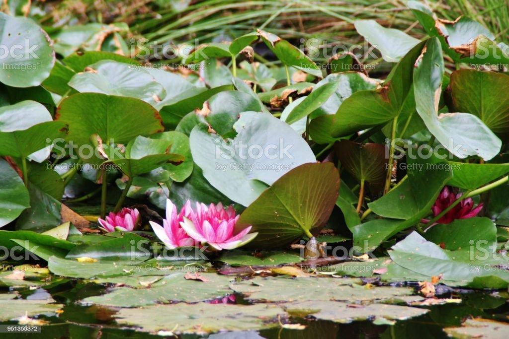 Nenufar Nenufar at Brownsea Island Aquatic Organism Stock Photo