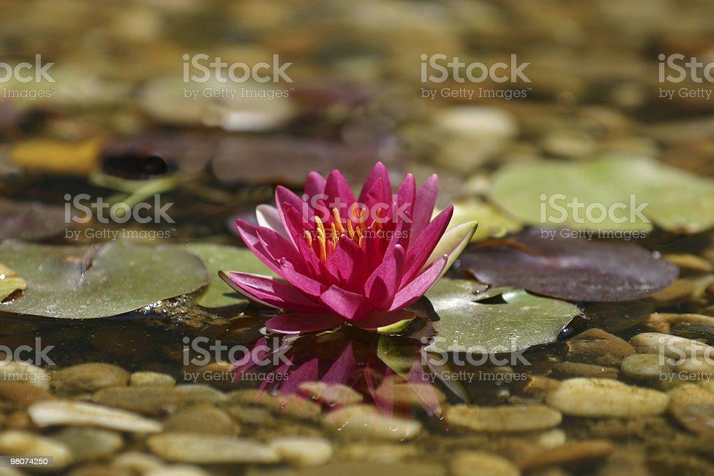 nenuphar royalty-free 스톡 사진