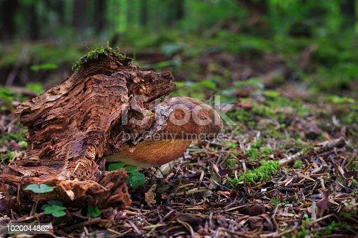 istock Neoboletus luridiformis, edible mushrooms 1020044862