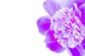 istock Neon purple peony closeup on a white background. 1152075945