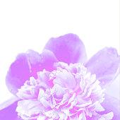 istock Neon purple peony closeup on a white background. 1157571380