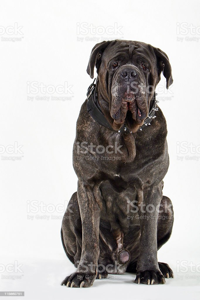 Neopolitan mastiff stock photo