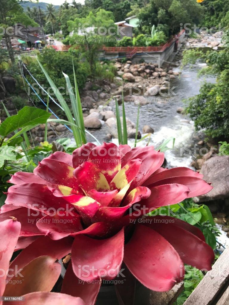 Neoregelia plant on the balcony. stock photo