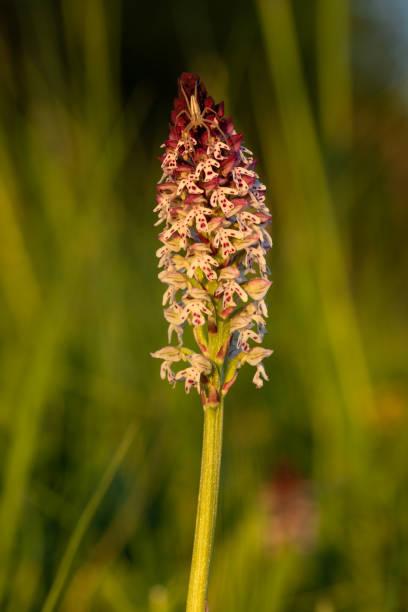 neotinea ustulata bekannt als verbrannten orchidee mit spinne - seltene pflanzen stock-fotos und bilder