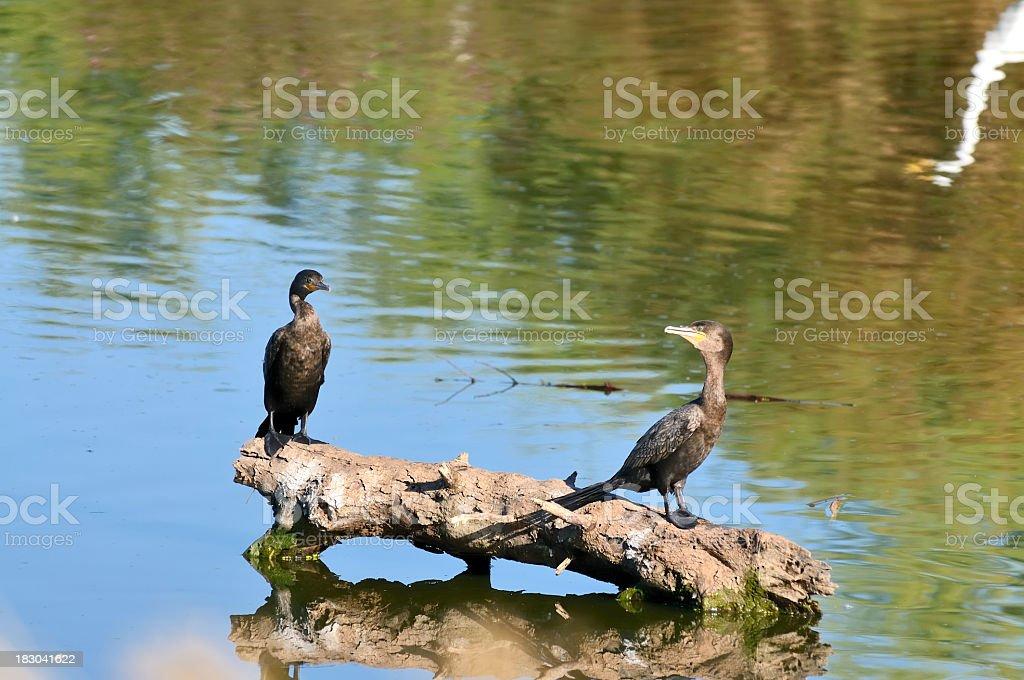 Neotropic Cormorant, Phalacrocorax brasilianus, Pair stock photo