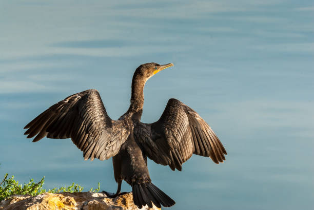 Neotropic Cormorant with Wings Spread Unlike its similar seagoing cousins, the Neotropic Cormorant (Phalacrocorax Brasilianus) can thrive in an arid climate as long as there are ponds or wetlands with small fish and amphibians for the cormorants to eat.  Unlike most birds, cormorant feathers get wet when they dive for fish so they need to dry them out before they can fly efficiently. After fishing, cormorants perch on a branch or log with their wings outstretched in the sunshine.  This cormorant was photographed with its wings spread at Walnut Canyon Lakes in Flagstaff, Arizona, USA. jeff goulden stock pictures, royalty-free photos & images