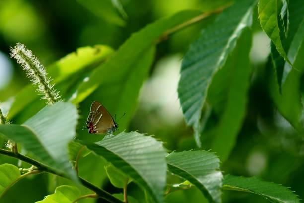Neozephyrus japonicus stock photo