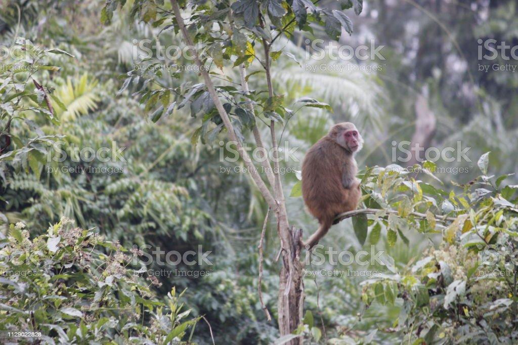 Nepal Rhesus Monkey stock photo