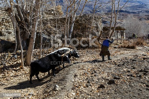 istock A Nepalese man leads two yaks. 1294322212