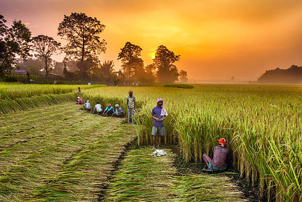 Nepalese people working in a rice field at sunrise Chitwan, Nepal - October 24, 2015 : Nepalese people working in a rice field at sunrise. rice paddy stock pictures, royalty-free photos & images