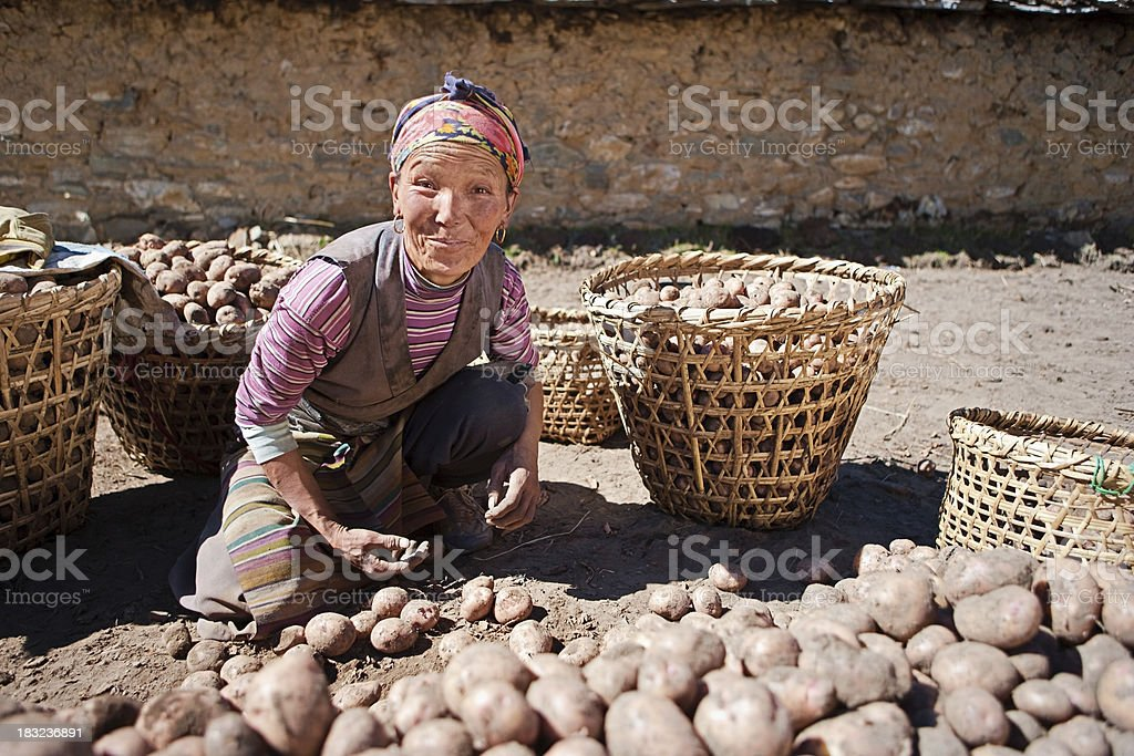 Nepali woman harvesting potatoes stock photo