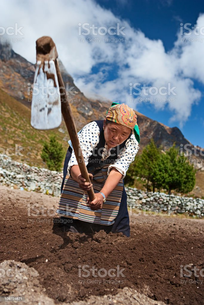 Nepali woman working in the field royalty-free stock photo