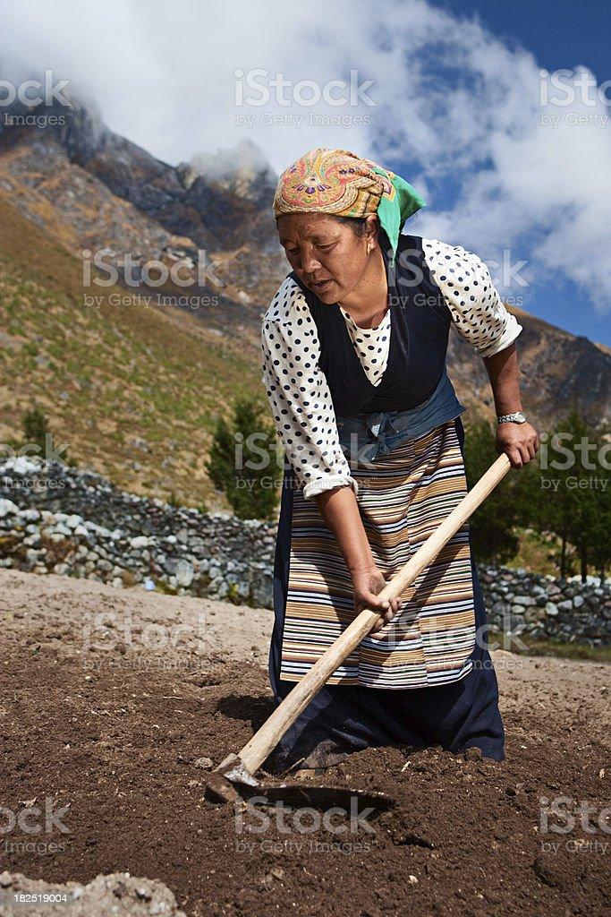 Nepali woman working in the field stock photo