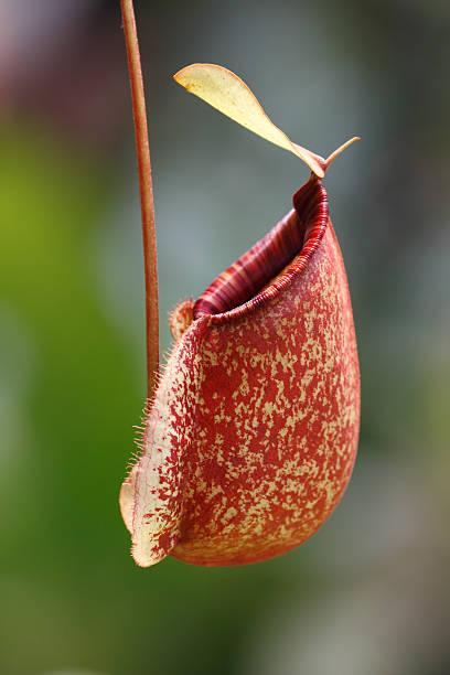 Nepenthes ampullaria stock photo