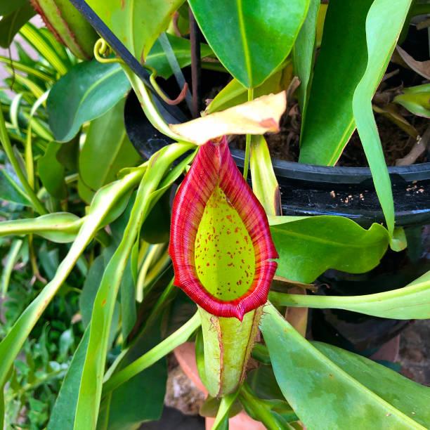 nepenthes mixta superba - seltene pflanzen stock-fotos und bilder