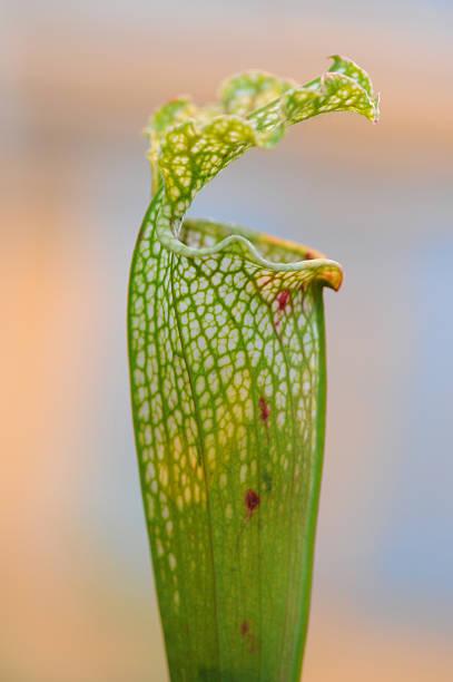 nepenthes (nepenthes) pitcher pflanzen oder der monkey körbchen - karnivoren stock-fotos und bilder