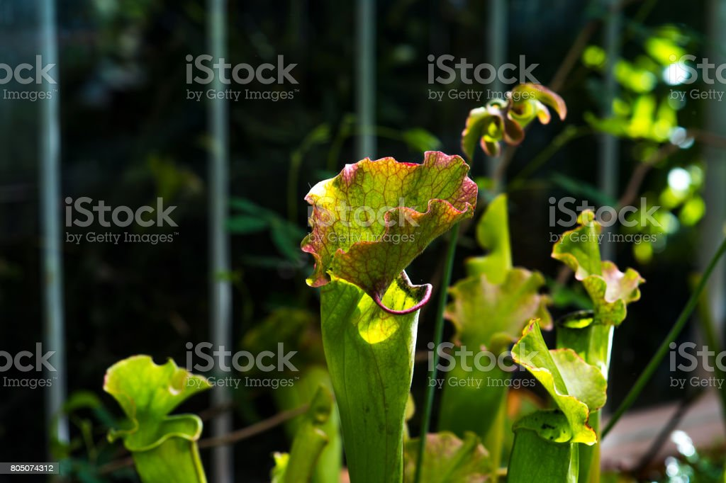 nepenthes plant,monkey cups the nepenthes tropical plant, nepenthes dangerous plants for insect. stock photo