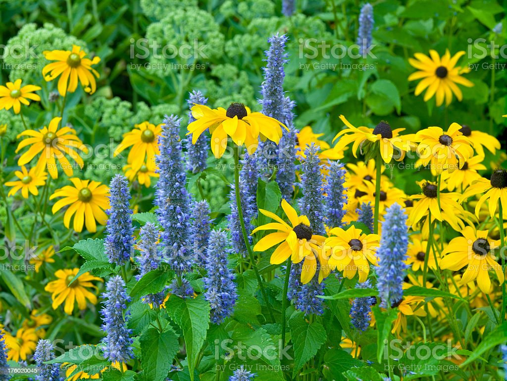 Nepeta Catmint and Black-Eyed Susan stock photo