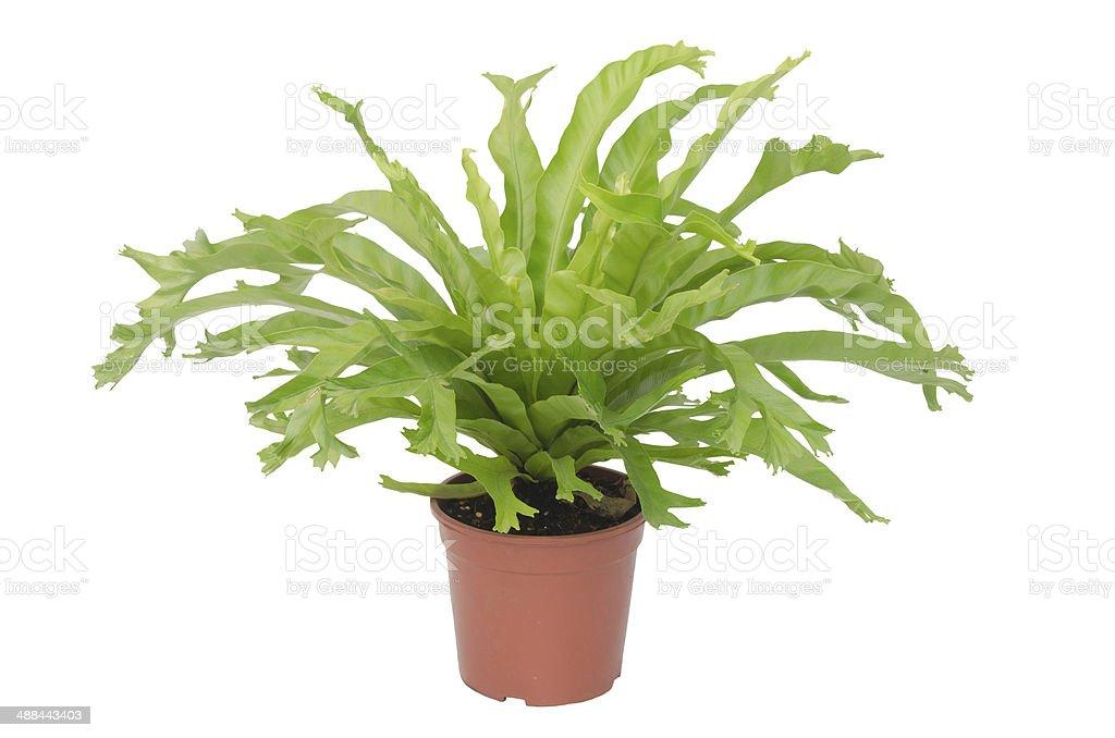 Nephrolepis biserrata Scott fern isolated on white background stock photo