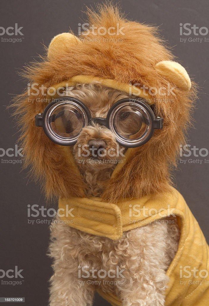 Nerdy Lion stock photo