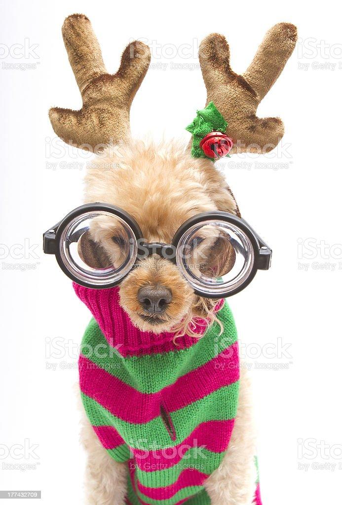 Nerdy Reindeer Portrait royalty-free stock photo