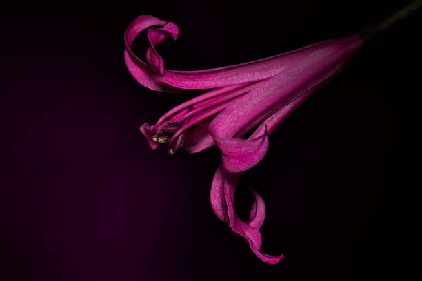 Nerine. stock photo