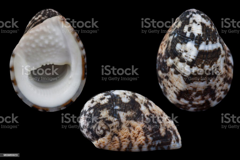 Nerita chamaeleon - Royalty-free Animal Shell Stock Photo