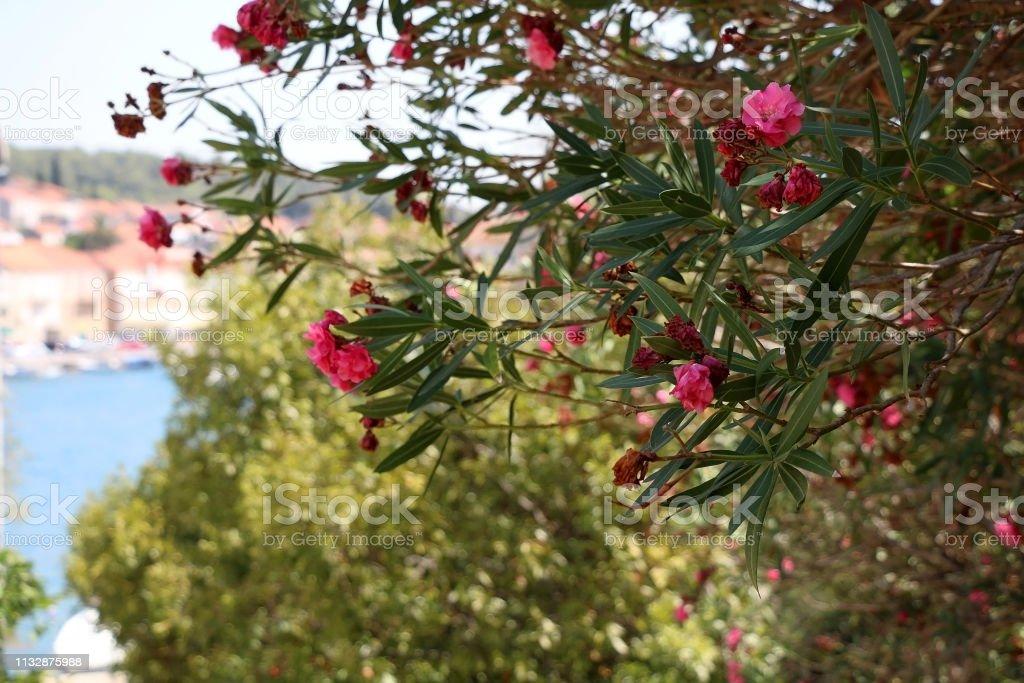 Nerium Flower stock photo
