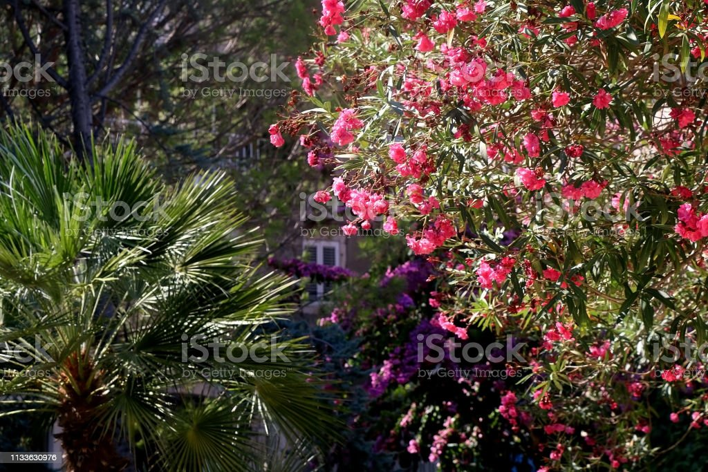 Nerium Flowers stock photo